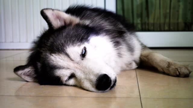 siberian husky lying down near the door - sled dog stock videos & royalty-free footage