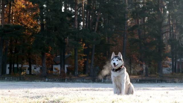 Siberian Husky on a morning walk.