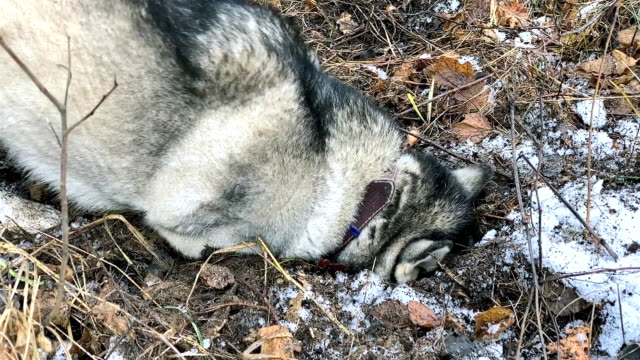 siberian husky preys on a field mouse. - siberian mouse stock videos & royalty-free footage