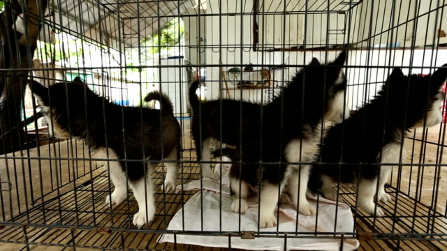 siberian husky puppy on cage format vdo hd. - malamute stock videos and b-roll footage