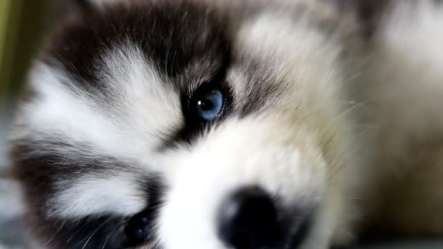 siberian husky puppy sleeping and looking at camera close-up - blue eyes stock videos and b-roll footage
