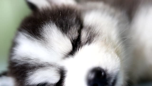 siberian husky puppy sleeping close-up - siberian husky stock videos & royalty-free footage