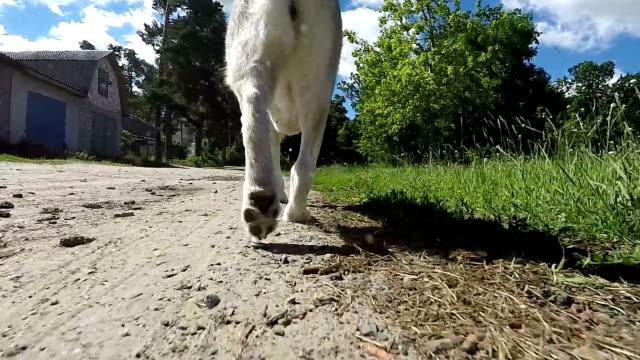 vídeos de stock, filmes e b-roll de husky siberiano corre ao longo de uma estrada de terra. câmera lenta. - pata com garras