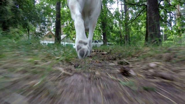 vídeos de stock, filmes e b-roll de husky siberiano percorre o caminho da floresta. - pata com garras