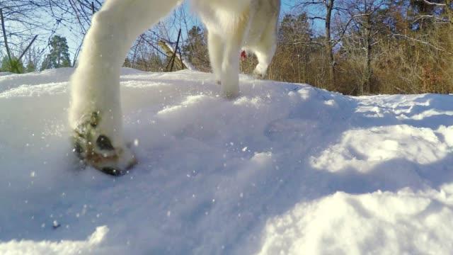 vídeos de stock, filmes e b-roll de husky siberiano é executado no equipamento. - pata com garras