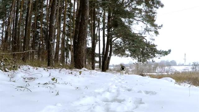 vídeos y material grabado en eventos de stock de husky siberiano corre en el bosque de invierno. - perro cazador