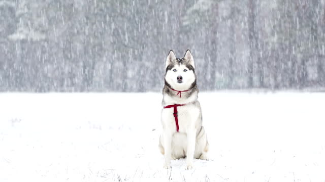 stockvideo's en b-roll-footage met siberische husky saunters in de winter tijdens een sneeuwval. - sledehond