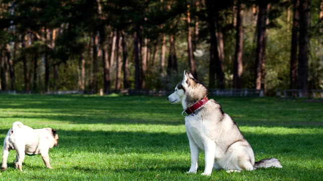 Siberian Husky sits on green grass. Pug runs past.