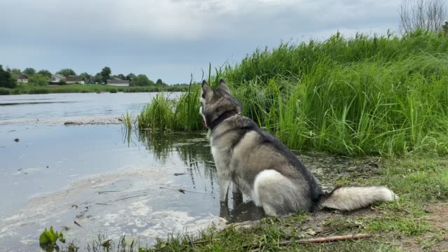 siberian husky sits on the shore of a pond. - dorsale video stock e b–roll