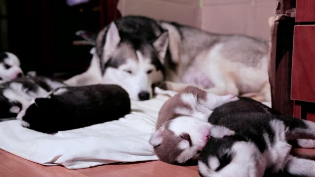 siberian husky sleeping with puppies. - togetherness stock videos & royalty-free footage