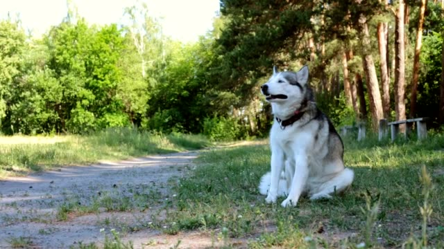 Siberian Husky. Slow-Motion.
