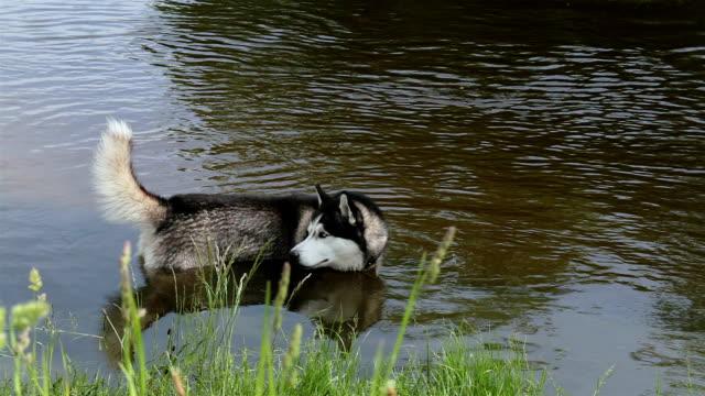 siberian husky swims in the river. - siberian husky stock videos & royalty-free footage