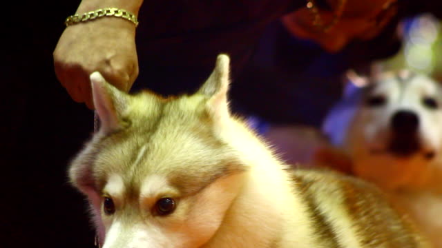 siberian husky - malamute stock videos and b-roll footage