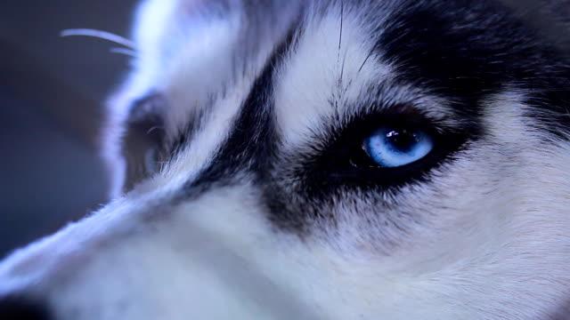 siberian husky - sled dog stock videos & royalty-free footage