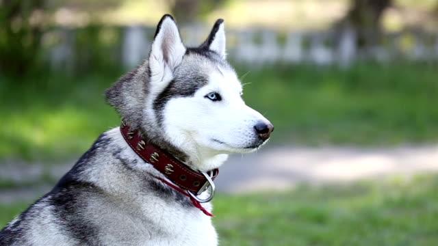 Sibirischer husky mit blauen Augen sieht um.