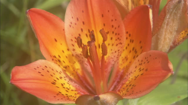 siberian lily flower, hokkaido tokoro-cho, abashiri quasi-national park hokkaido - lily family stock videos & royalty-free footage