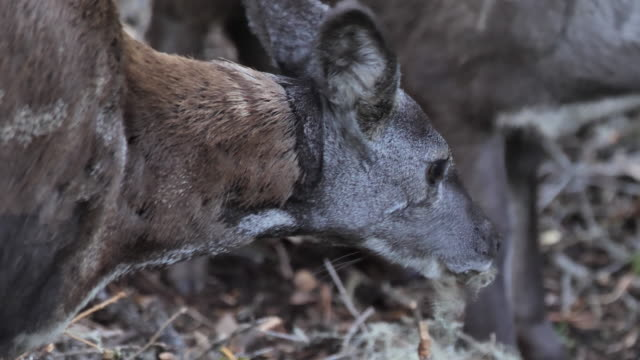 siberian musk deer (moshus musk) - altay nature reserve - saber toothed cat stock videos & royalty-free footage