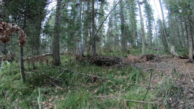 vídeos y material grabado en eventos de stock de ciervo almizclero siberiano (moshus musk) - reserva natural de altay - protección de fauna salvaje