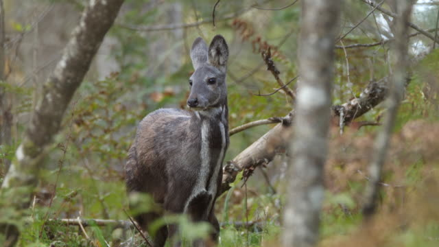 siberian musk deer (moschus moschiferus) - wildlife conservation stock videos & royalty-free footage