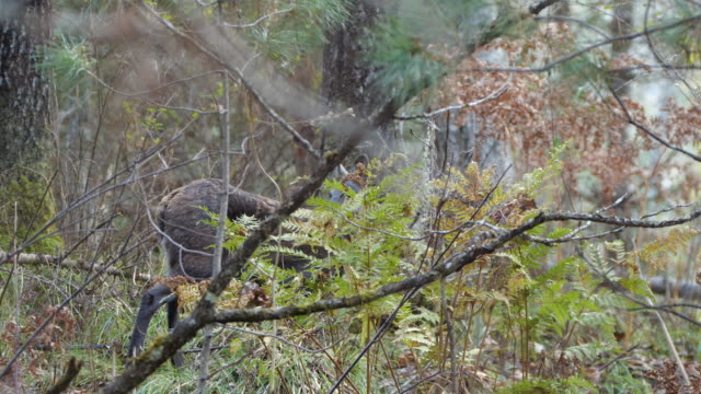 siberian musk deer (moschus moschiferus) - zoology stock videos & royalty-free footage