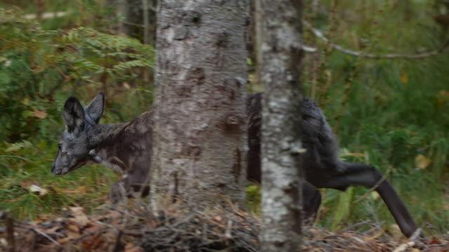 vídeos de stock, filmes e b-roll de siberian musk deer (moschus moschiferus) - câmera seguindo movimento