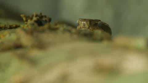 siberian pit viper (gloydius halys) - khingan nature reserve - viper stock videos & royalty-free footage