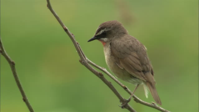 siberian rubythroat (luscinia calliope) on sarobetsu coast - branch plant part stock videos and b-roll footage