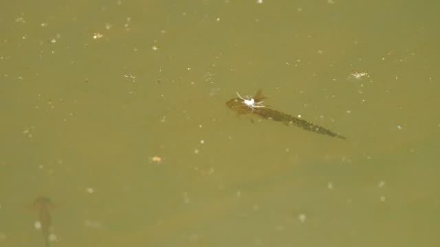 siberian salamander (salamandrella keyserlingii) - khingan reservat - akvatisk organism bildbanksvideor och videomaterial från bakom kulisserna