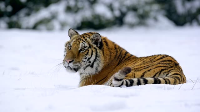 siberian tiger, panthera tigris altaica, lies in the snow - endangered species stock videos & royalty-free footage
