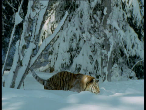 Siberian tiger trudges through deep snow drift in pine forest, Siberia