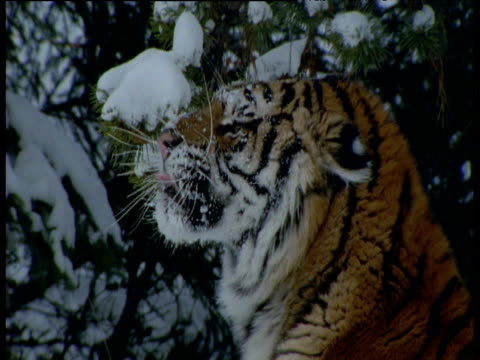 Siberian tiger with snow on face snarls in snowy forest, Siberia