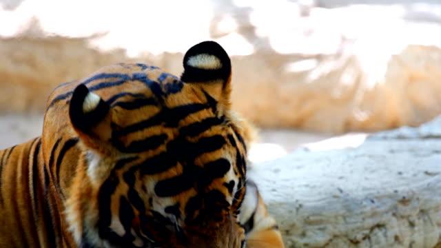 Siberian Tiger Yawning.