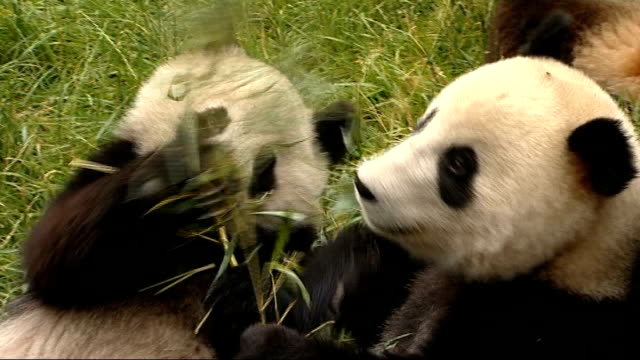 rescued pandas at wolong panda reserve panda keepers carrying bamboo shoots to enclosure and good shots of pandas eating bamboo / pandas lying on... - nature reserve stock videos & royalty-free footage