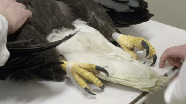 sick bald eagle is unconscious in veterinary clinic - claw stock videos & royalty-free footage