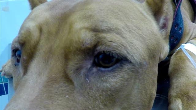 vídeos de stock e filmes b-roll de sick dog - paralisia