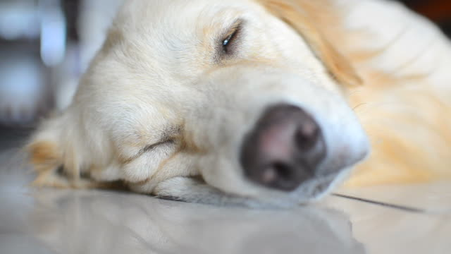 sickness golden retriever dog - retriever stock videos & royalty-free footage