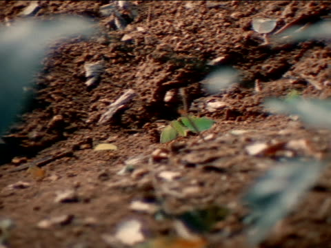 vídeos de stock e filmes b-roll de leafcutter ants carrying cut leaves on dirt path tracking leafcutters taking leaves into hole underground south america central america insect - saúva da mata