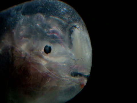 side of head of translucent male linophryne anglerfish, gulf of mexico - translucent stock videos and b-roll footage