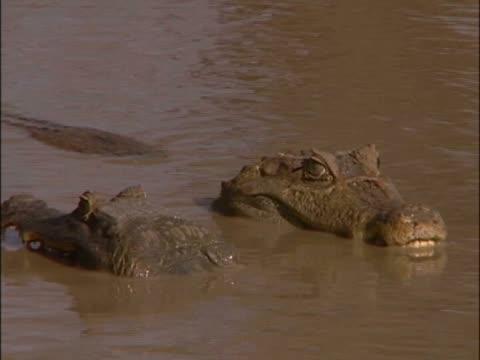 side profile of a mid adult man feeding a crocodile - goatee stock videos & royalty-free footage