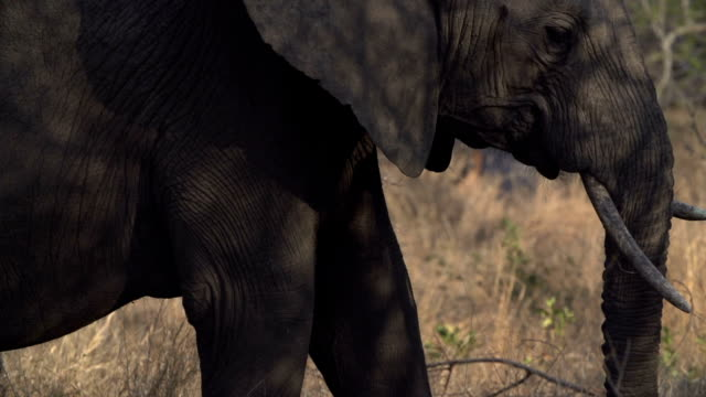 side profile of elephant feeding in dappled light/ kruger national park/ south africa - dappled light stock videos and b-roll footage