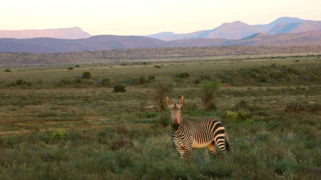 vidéos et rushes de ms ts side pov shot of driving past zebra in meadow / the karoo, south africa - karoo