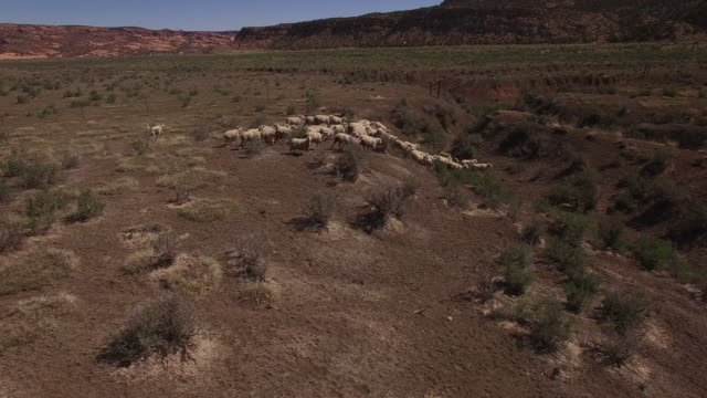 side tracking sheep running down and up valley 4k, drone aerial view of wild horses grazing and running near the grand canyon close to the arizona utah border - 羊の群点の映像素材/bロール