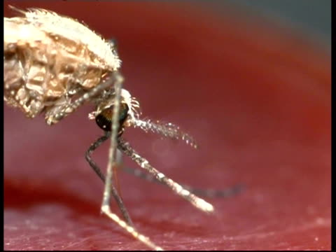 BCU side view, mosquito (Anopheles stephensi) sucking blood from human arm