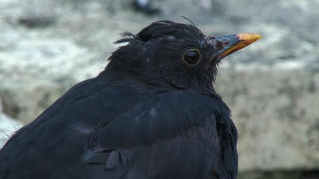 side view of a male blackbird also knonw as the eurasian blackbird - johnfscott stock videos & royalty-free footage