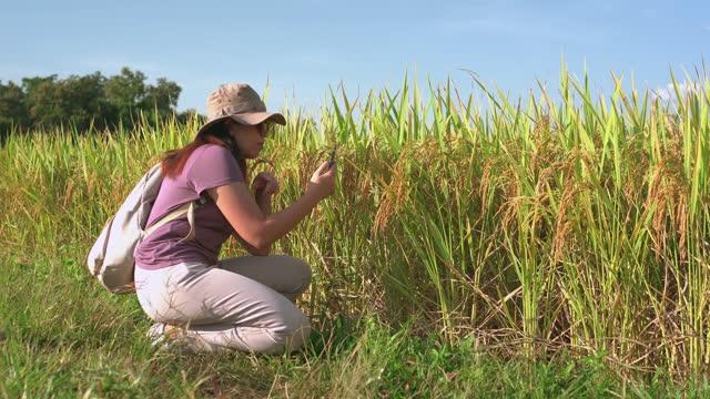 vidéos et rushes de vue latérale d'une femme asiatique prenant une photo d'une oreille de riz, marchant sur la crête du riz paddy sous le coucher du soleil dans une scène agricole non urbaine, le nord de la thaïlande avec un sentiment excité, émotion positive - non urban scene