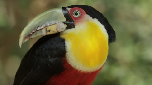 Side view of bird, toucan, with black, red and yellow feathers