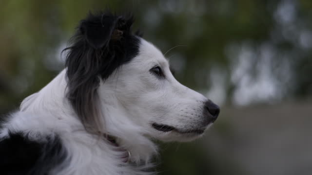 side view of border collie - collie stock videos & royalty-free footage