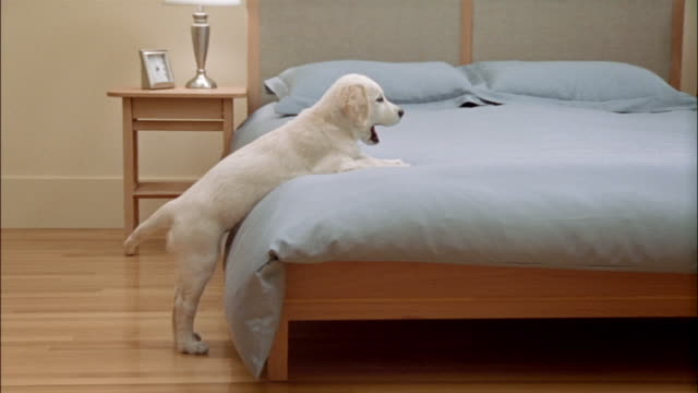 Side view of golden retriever puppy leaning against side of bed with front paws resting on top of comforter and wagging tail / getting down off bed and running away