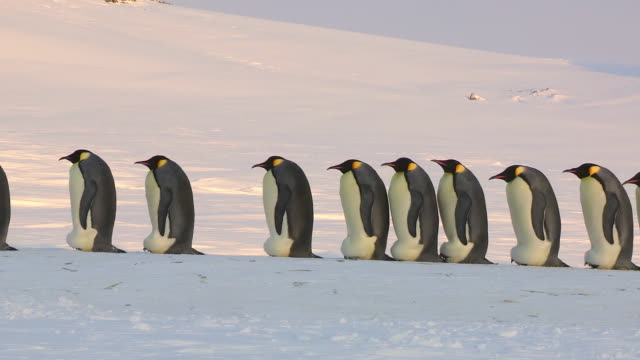 ws side pov view of group of emperor penguins in profile walking left of frame  / dumont d'urville station, adelie land, antarctica - penguin stock videos & royalty-free footage