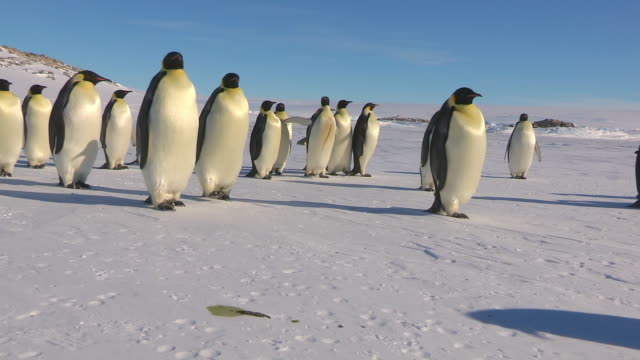 ws side pov view of group of emperor penguins walking and tobogganing to right on flat snow in good sunlight / dumont d'urville station, adelie land, antarctica - scivolare video stock e b–roll